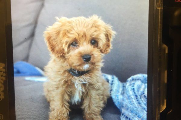 lottie_perth_cavoodle_cavapoo_puppy_for_sale