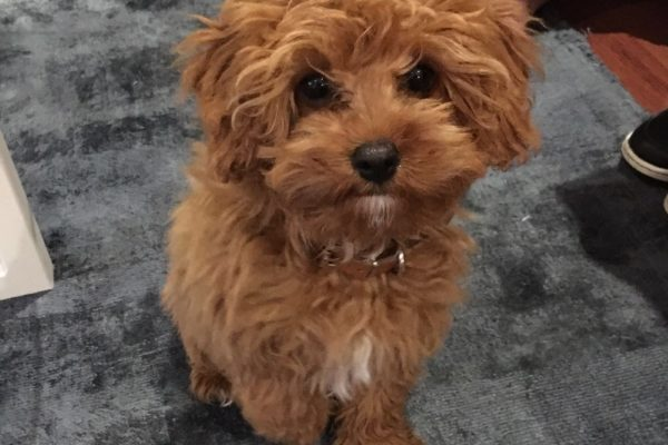 lottie_perth_red_toy_cavoodle_cavapoo_puppy_for_sale