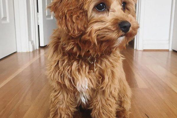 lottie_perth_breeder_cavoodle_cavapoo_puppy_victoria
