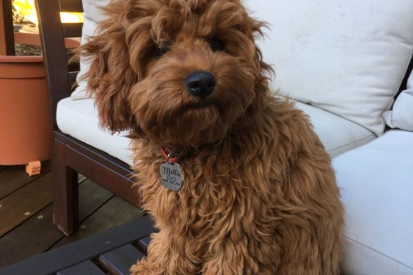 Cavoodle Dogs For Sale Melbourne