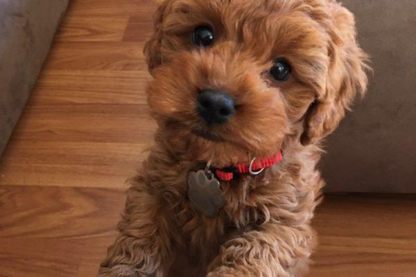 millie_sydney_cavoodle_cavapoo_puppy_for_sale_melbourne