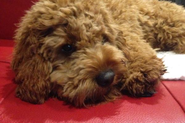 milo_cavoodle_cavapoo_melbourne_puppy_for_sale_melbourne