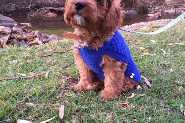 stanley_adelaide_red_toy_cavoodle_cavapoo_puppy_for_sale_melbourne