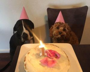 Lottie Birthday Cavoodle Cavapoo Urban Puppies Melbourne Victoria Urban Puppies