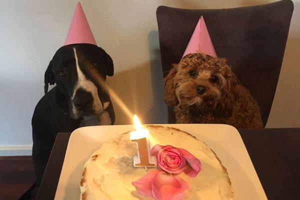 lottie-birthday-cavoodle-cavapoo-urban-puppies-melbourne-victoria