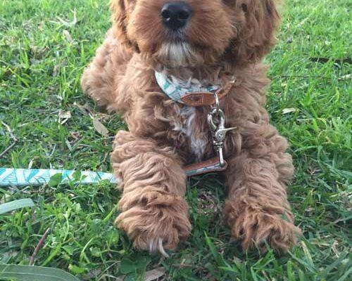 Testimonials Urban Puppies Toy Cavoodle Puppies Melbourne