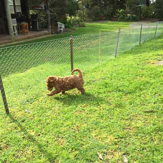 Indeh_Red_Toy_Cavoodle_Cavapoo_Puppy_Melbourne