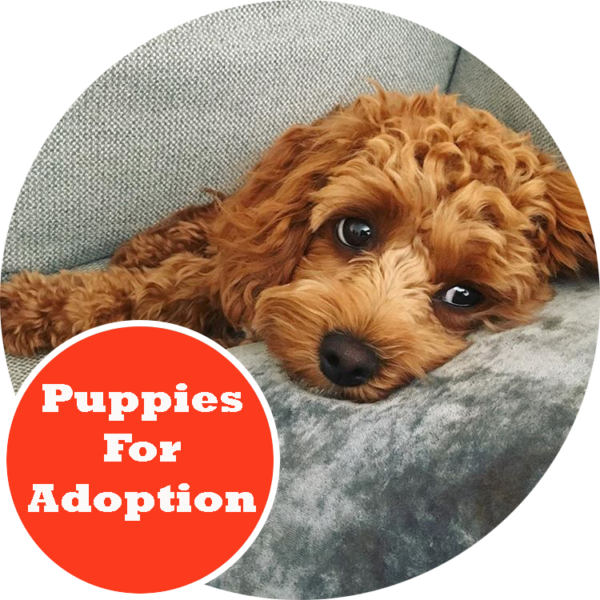 Toy Cavoodle Puppies Melbourne Victoria | Urban Puppies