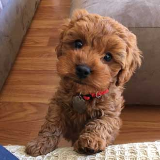 Cavoodle Dog For Sale Melbourne