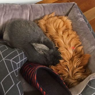 roxy-cavoodle-cavapoo-urban-puppies-melbourne-vict