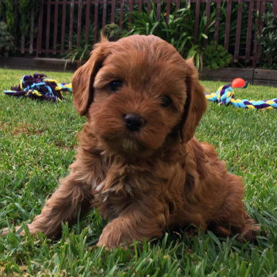 Girl-1-A-cavoodle-puppies-for-sale-melbourne-victoria-urban-puppies