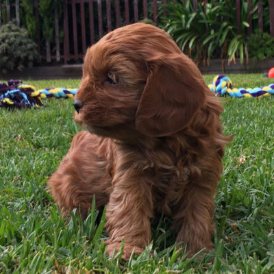 Girl-1-B-cavoodle-puppies-for-sale-melbourne-victoria-urban-puppies