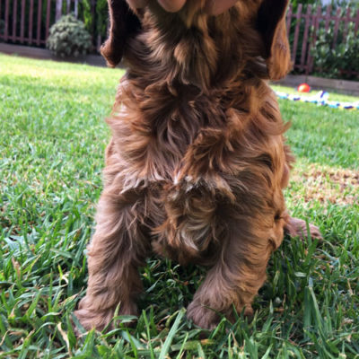 Girl-1-C-cavoodle-puppies-for-sale-melbourne-victoria-urban-puppies