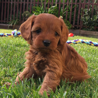 Girl-2-A-cavoodle-puppies-for-sale-melbourne-victoria-urban-puppies