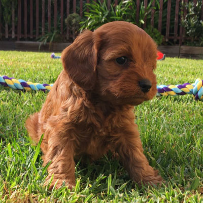 Girl-2-B-cavoodle-puppies-for-sale-melbourne-victoria-urban-puppies