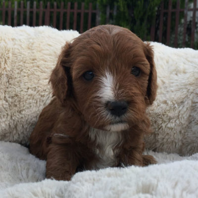 F1A-cavoodle-cavapoo-puppies-urban-puppies-melbourne-four-weeks-old