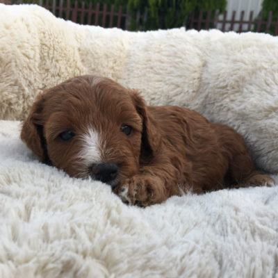 F1B-cavoodle-cavapoo-puppies-urban-puppies-melbourne-four-weeks-old