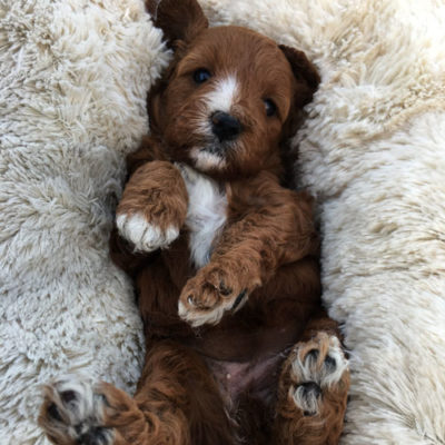 F1C-cavoodle-cavapoo-puppies-urban-puppies-melbourne-four-weeks-old