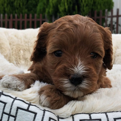 F2A-cavoodle-cavapoo-puppies-urban-puppies-melbourne-four-weeks-old