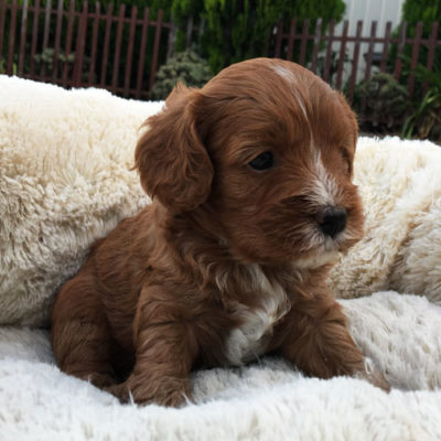 M1B-cavoodle-cavapoo-puppies-urban-puppies-melbourne-four-weeks-old