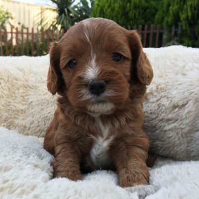 M1C-cavoodle-cavapoo-puppies-urban-puppies-melbourne-four-weeks-old