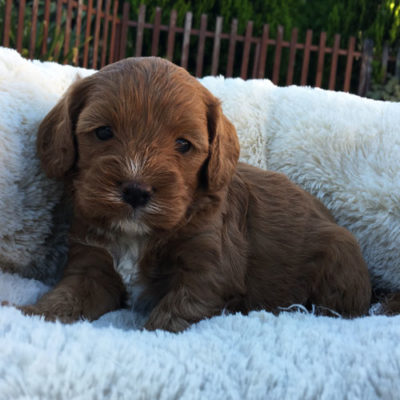 M2A-cavoodle-cavapoo-puppies-urban-puppies-melbourne-four-weeks-old