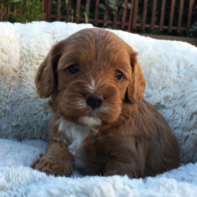 M2B-cavoodle-cavapoo-puppies-urban-puppies-melbourne-four-weeks-old