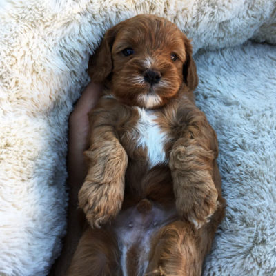 M2C-cavoodle-cavapoo-puppies-urban-puppies-melbourne-four-weeks-old