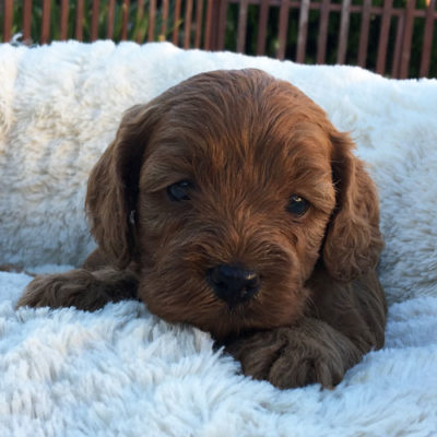 M3A-cavoodle-cavapoo-puppies-urban-puppies-melbourne-four-weeks-old