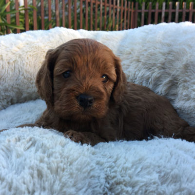M3B-cavoodle-cavapoo-puppies-urban-puppies-melbourne-four-weeks-old